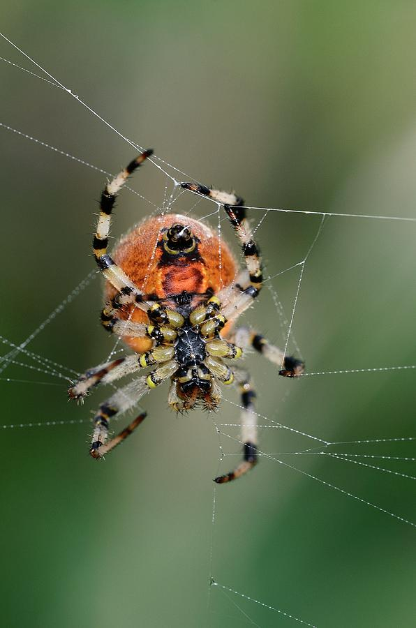 Orb Weaver Photograph - Orb Weaver Spider by Colin Varndell