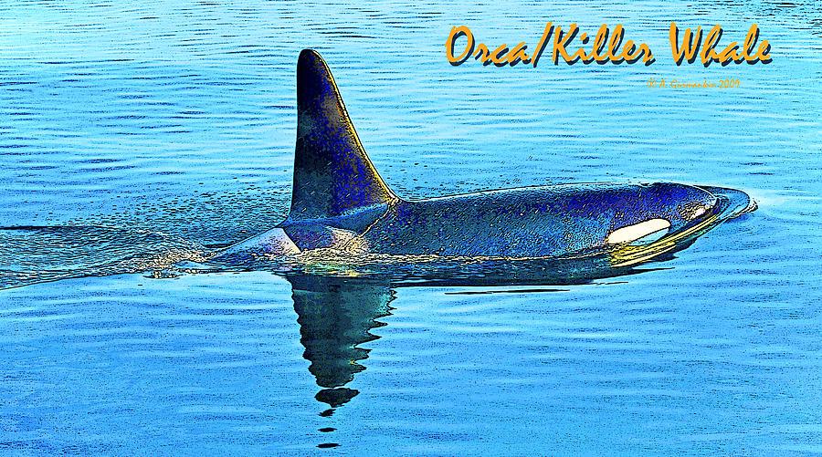 Orca Photograph - Orca Killer Whale Digital Art by A Gurmankin
