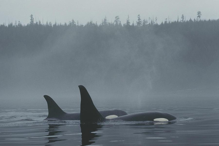 Orca Male And Female Surfacing Canada Photograph by Hiroya Minakuchi