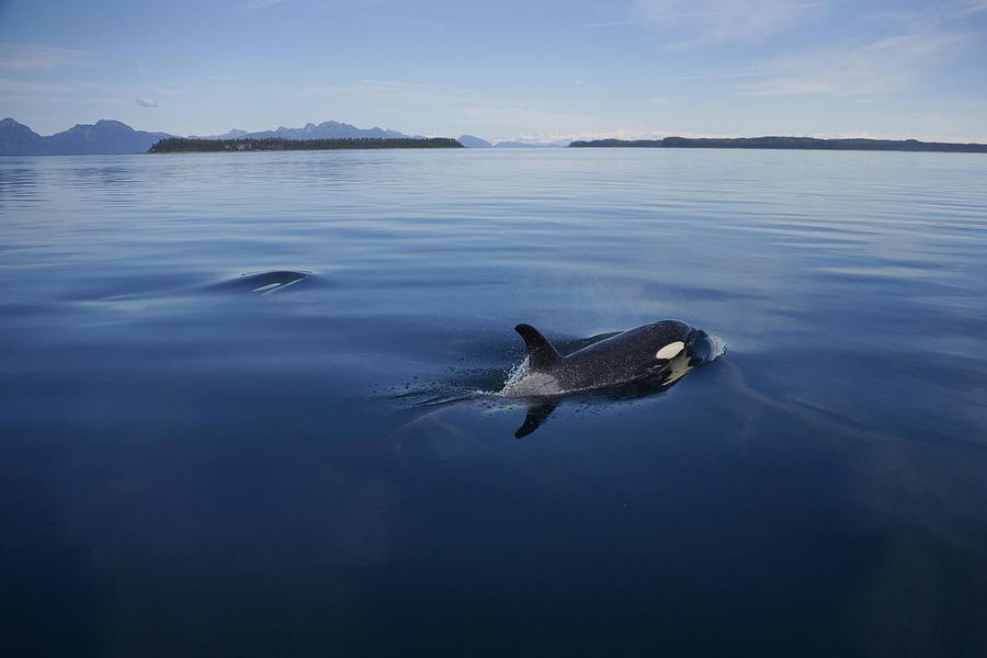 Orca Pair Surfacing Prince William Photograph by Hiroya Minakuchi
