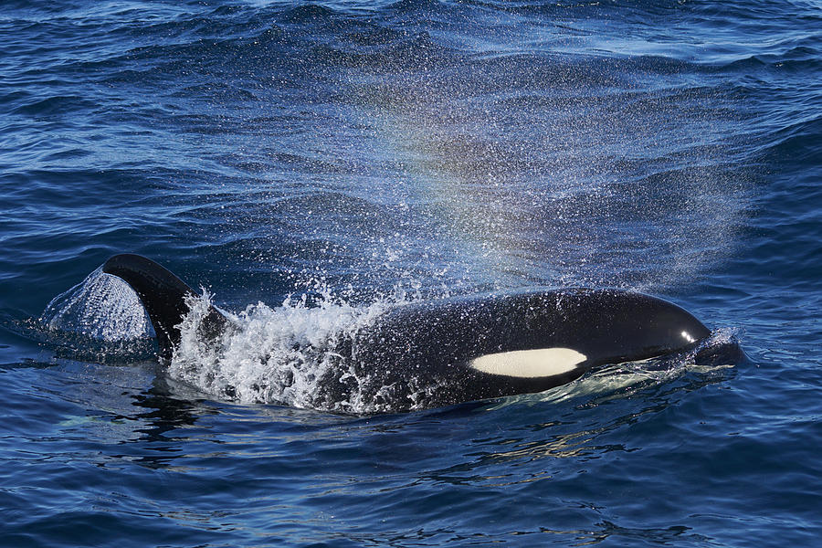 Orca Surfacing Hokkaido Japan Photograph by Hiroya Minakuchi