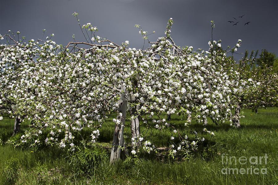 Maine Photograph - Orchard by Karin Pinkham
