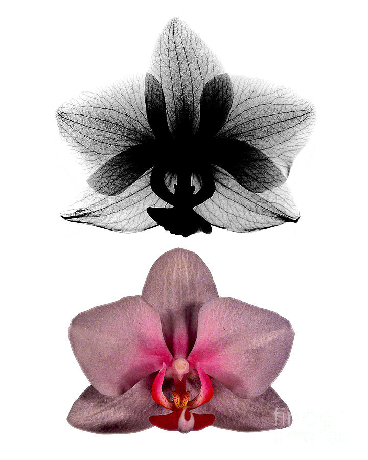 Radiograph Photograph - Orchid And Its X-ray by Bert Myers