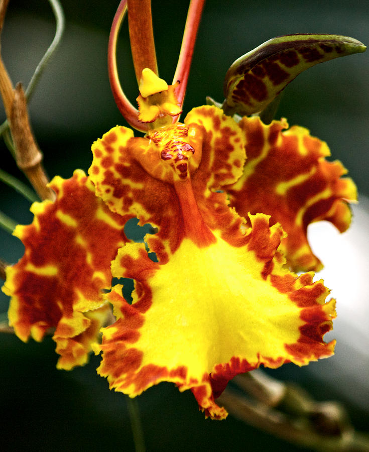 Bearded Photograph - Orchid by Andrew Chianese