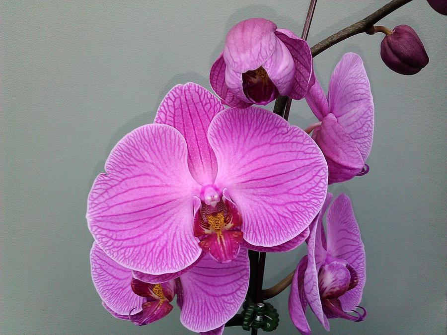 Floral Photograph - Orchid Beauty by Jo-Ann Hayden