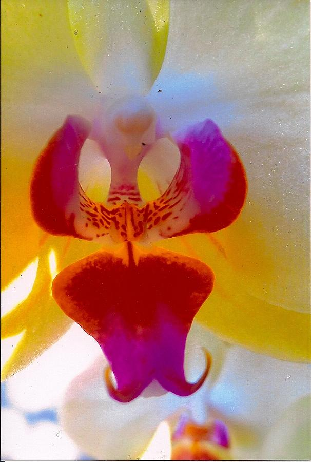 Orchid Blast Photograph by Robert Bray