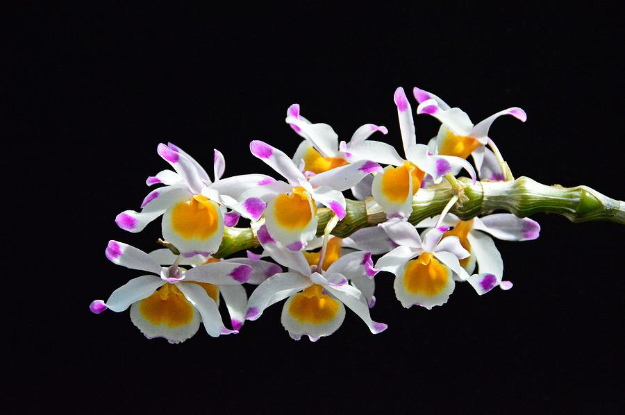 Orchid Photograph - Orchid Burst by David Earl Johnson