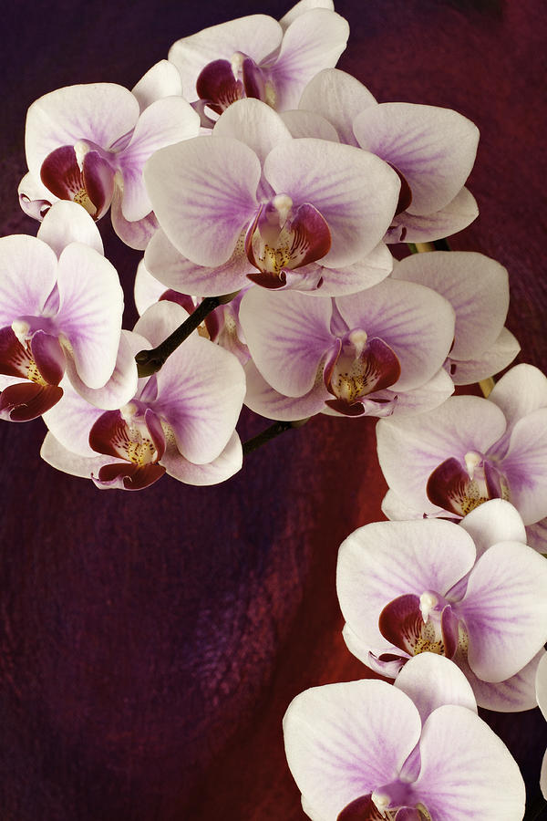 Orchid Cascade by Randy Grosse