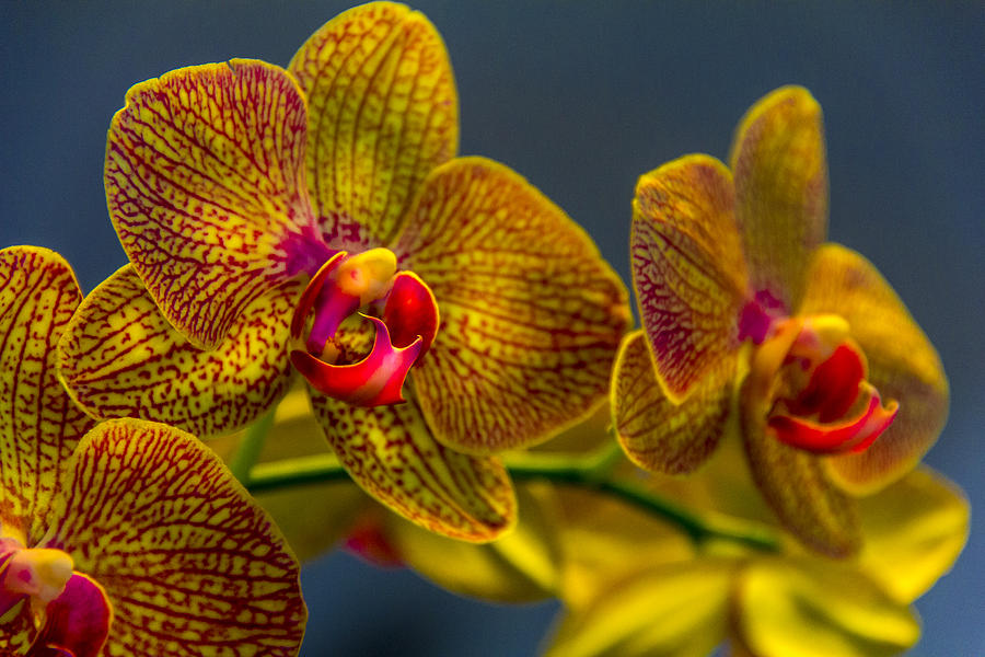 Flowers Photograph - Orchid Color by Marvin Spates