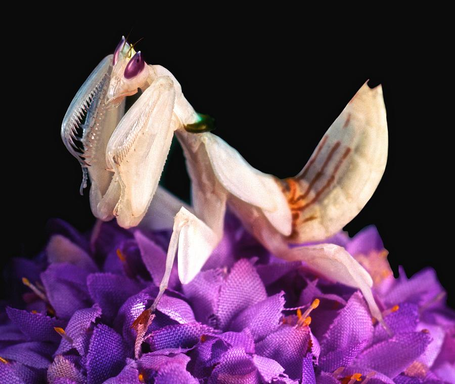 Killer Photograph - Orchid Female Mantis  Hymenopus Coronatus  7 Of 10 by Leslie Crotty
