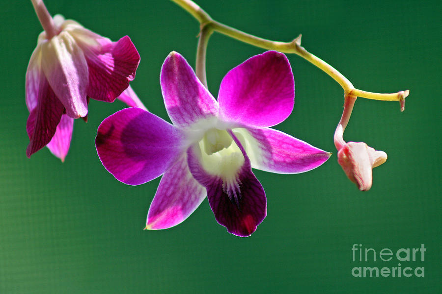 Orchid Photograph - Orchid Flower by Karen Adams