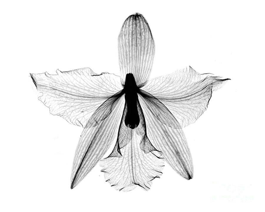 Orchid Flower X Ray Photograph By Bert Myers