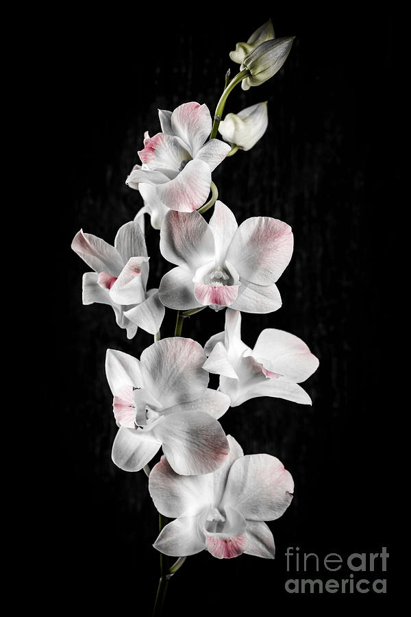 Orchid Flowers On Black Photograph By Elena Elisseeva
