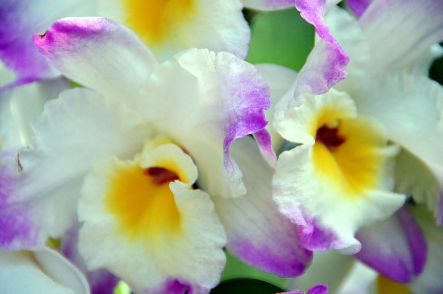 Orchids Photograph - Orchid Fluffery by David Earl Johnson