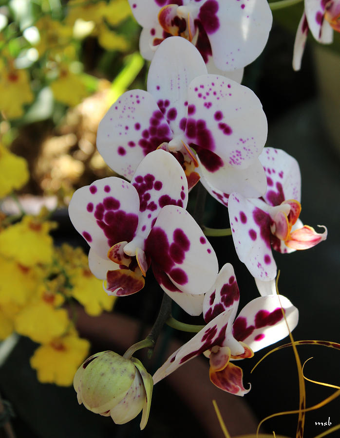 Orchid Photograph - Orchid Four by Mark Steven Burhart