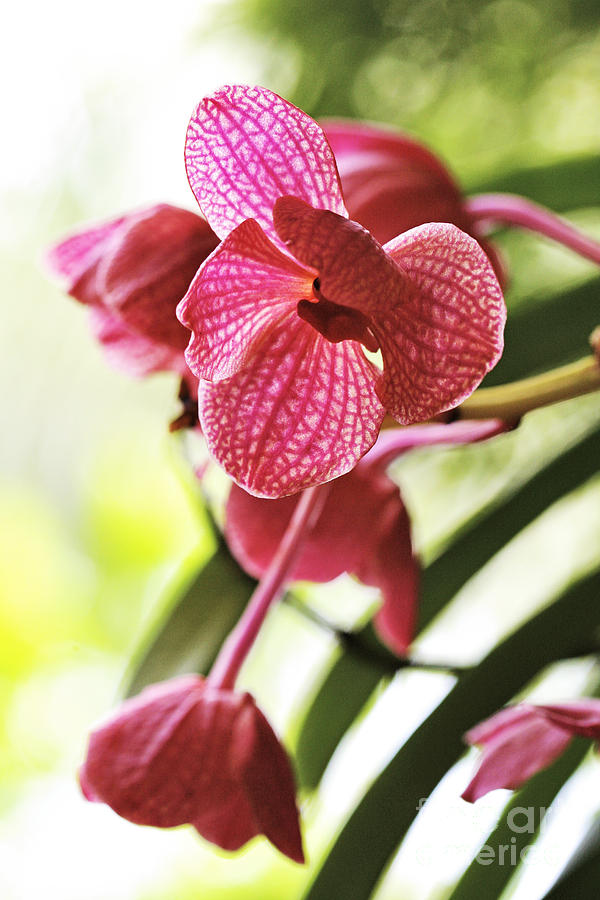 Orchid Photograph - Orchid II by Pamela Gail Torres