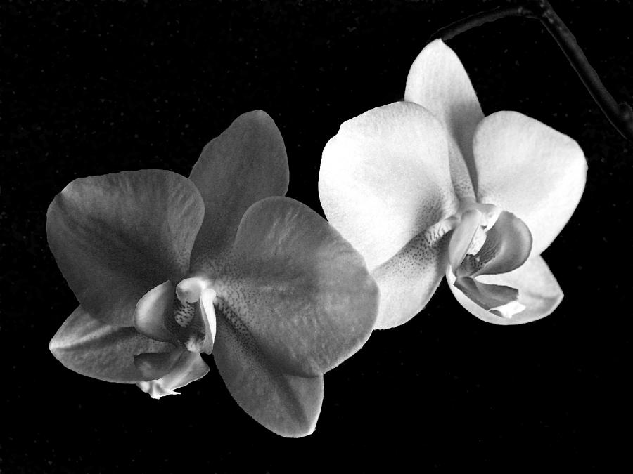 Floral Photograph - Orchid in black and white by Steve Karol