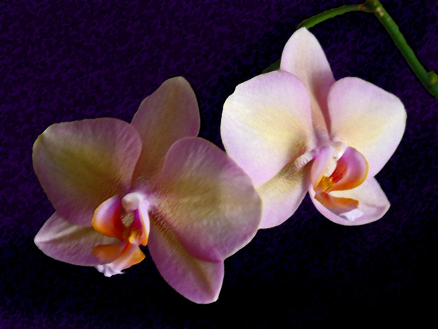 Orchid Photograph - Orchid Light by Steve Karol