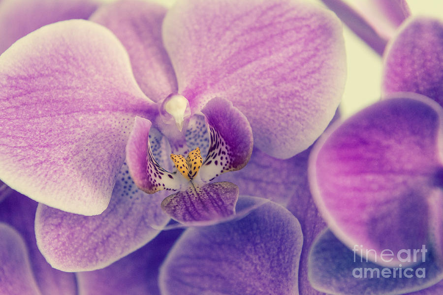 Asia Photograph - Orchid Lilac Dark by Hannes Cmarits