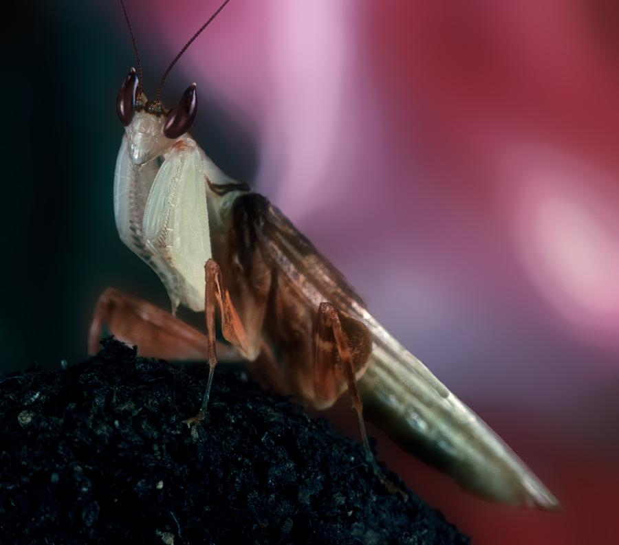 Orchid Photograph - Orchid Male Mantis  Hymenopus Coronatus Portrait  #6 Of 9 by Leslie Crotty