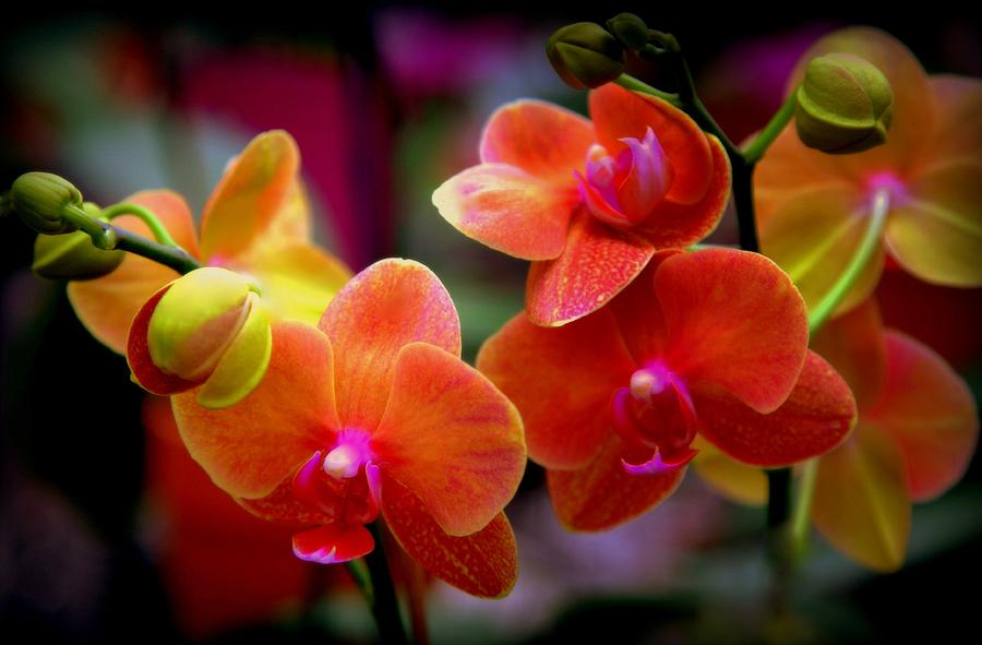 Orchids Photograph - Orchid Melody by Karen Wiles