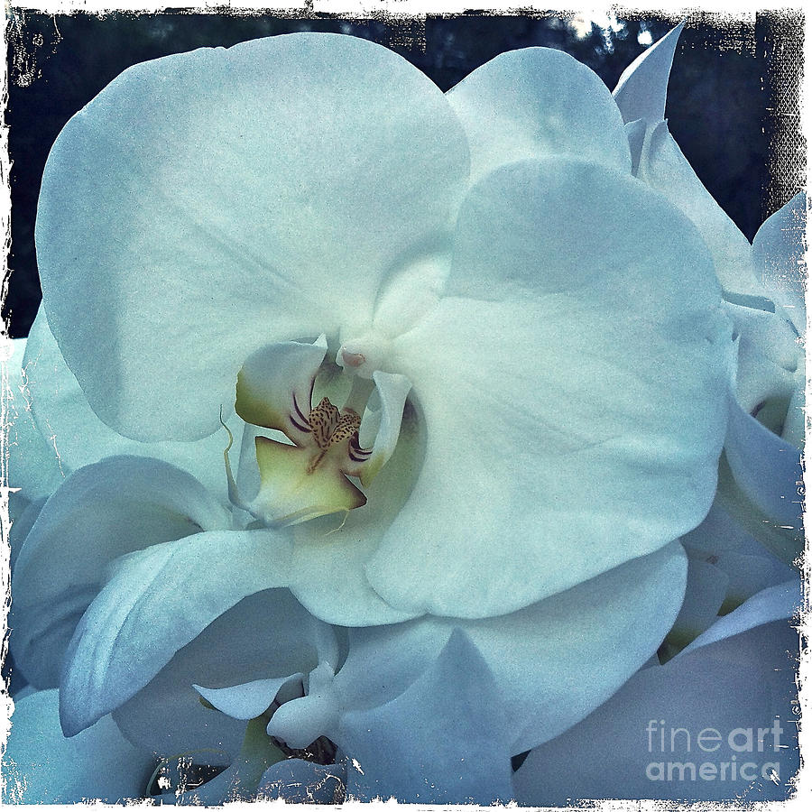 Floral Photograph - Orchid by Nina Prommer
