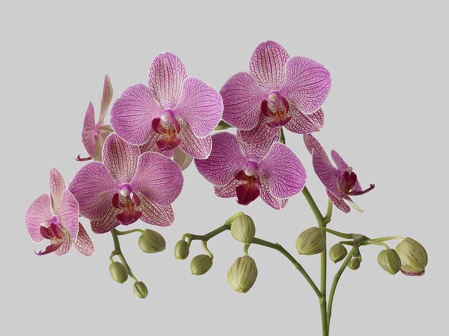 Orchid Plant On Grey Background Photograph by William Turner