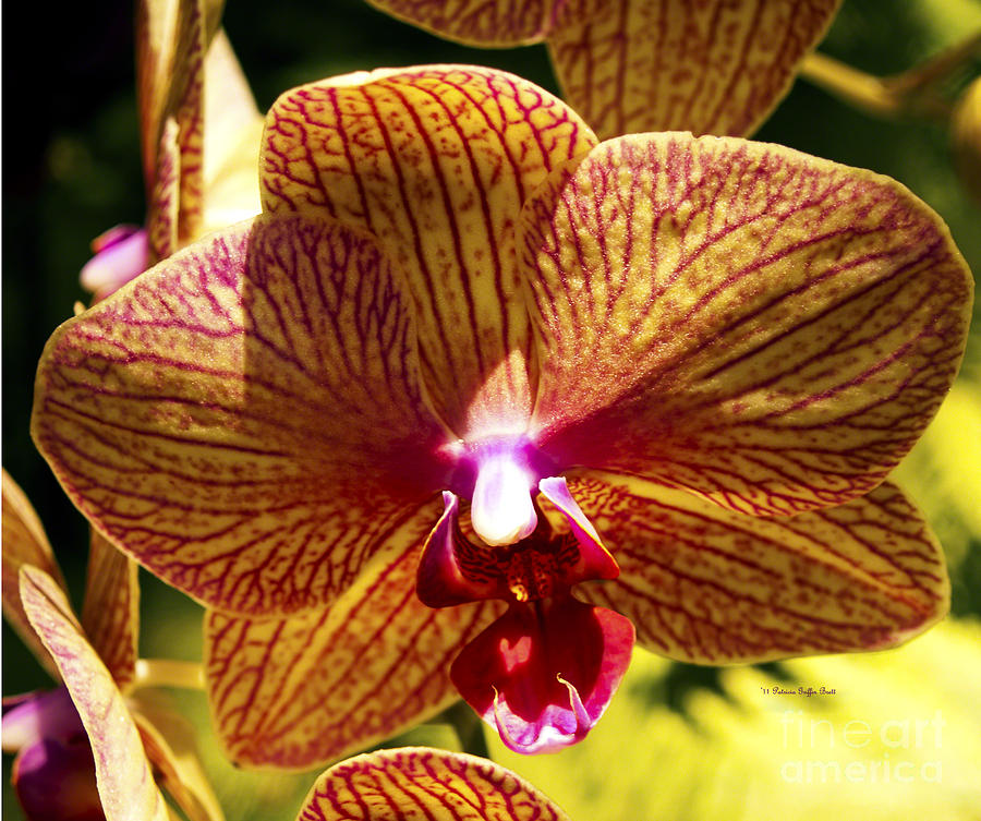 Orchid Study VII by Patricia Griffin Brett