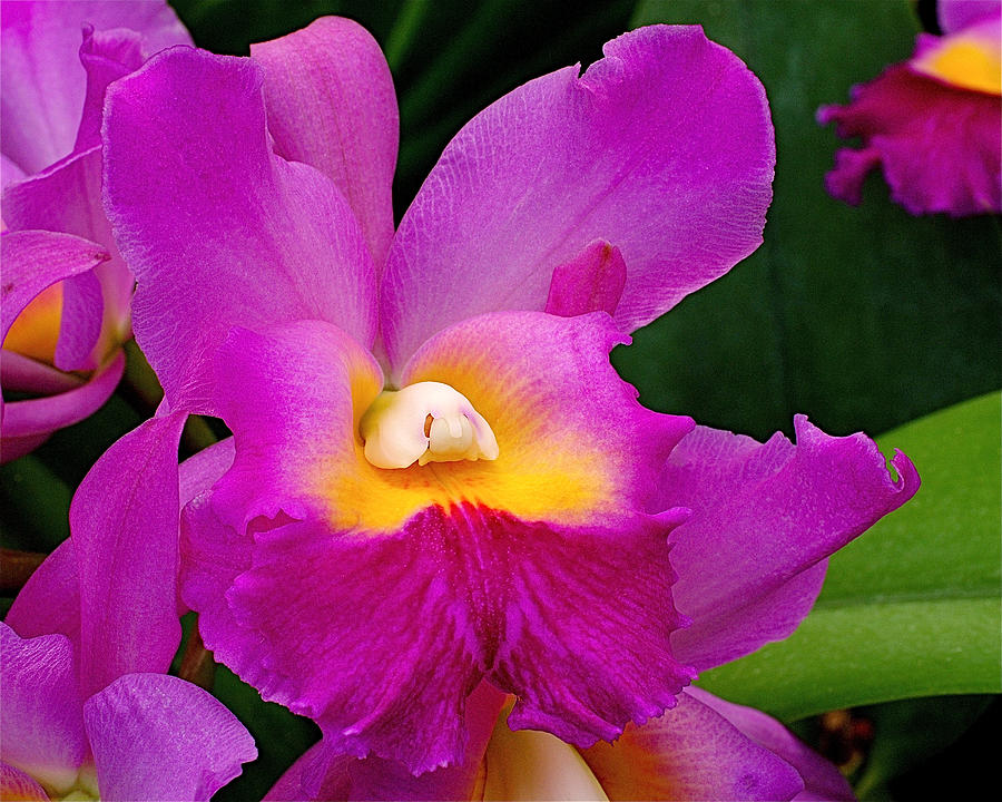 Orchid Photograph - Orchid Variations 1 by Rona Black