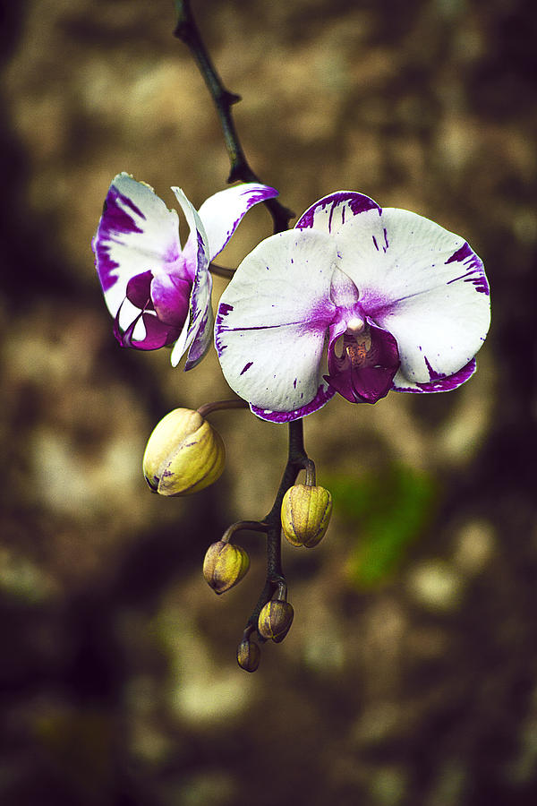 Orchid Photograph - Orchids - 1 by Michael Guirguis
