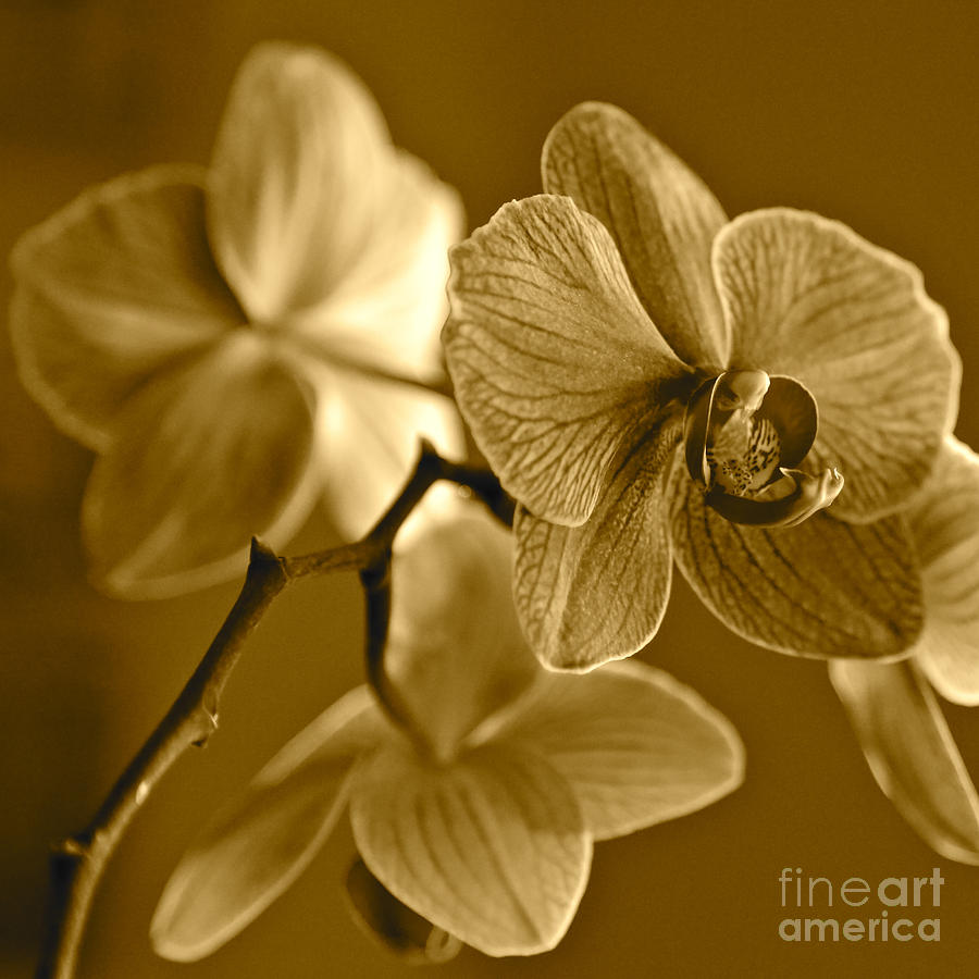 Orchids In Sepia Photograph by Carol Groenen