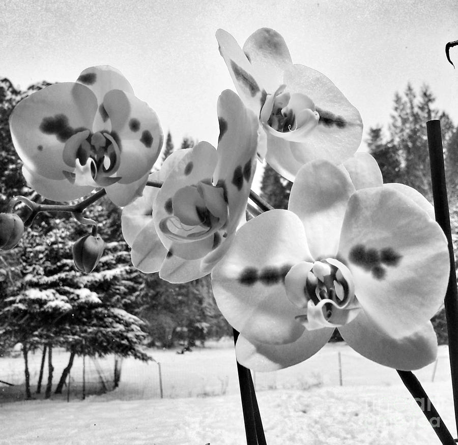Flower Photograph - Orchids in Winter by Heather L Wright