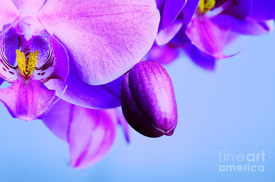 Orchids On Blue Photograph