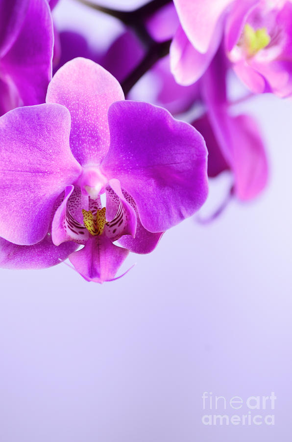 Orchids On Simple Background Photograph