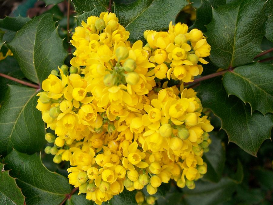 Oregon grape painting by sharon duguay for Oregon craft floral