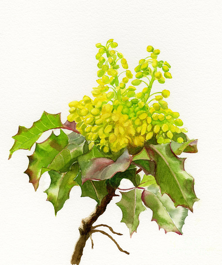 Oregon Painting - Oregon Grape White Background by Sharon Freeman