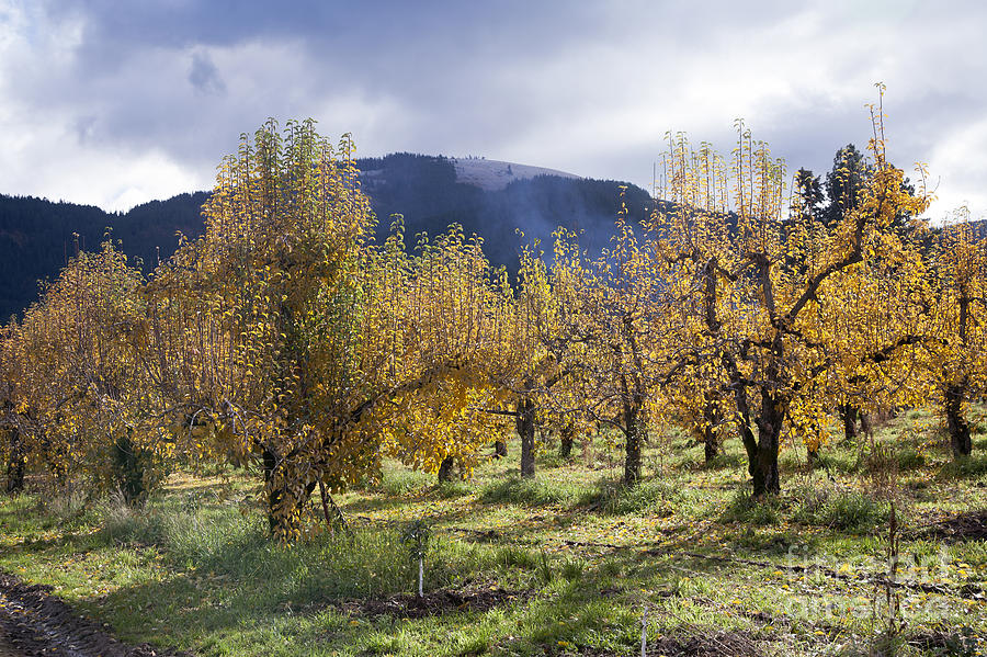Agriculture Photograph - Oregon Orchard by Peter French