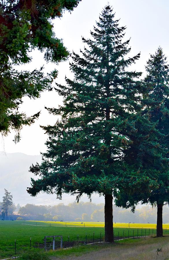 Oregon Pine Photograph