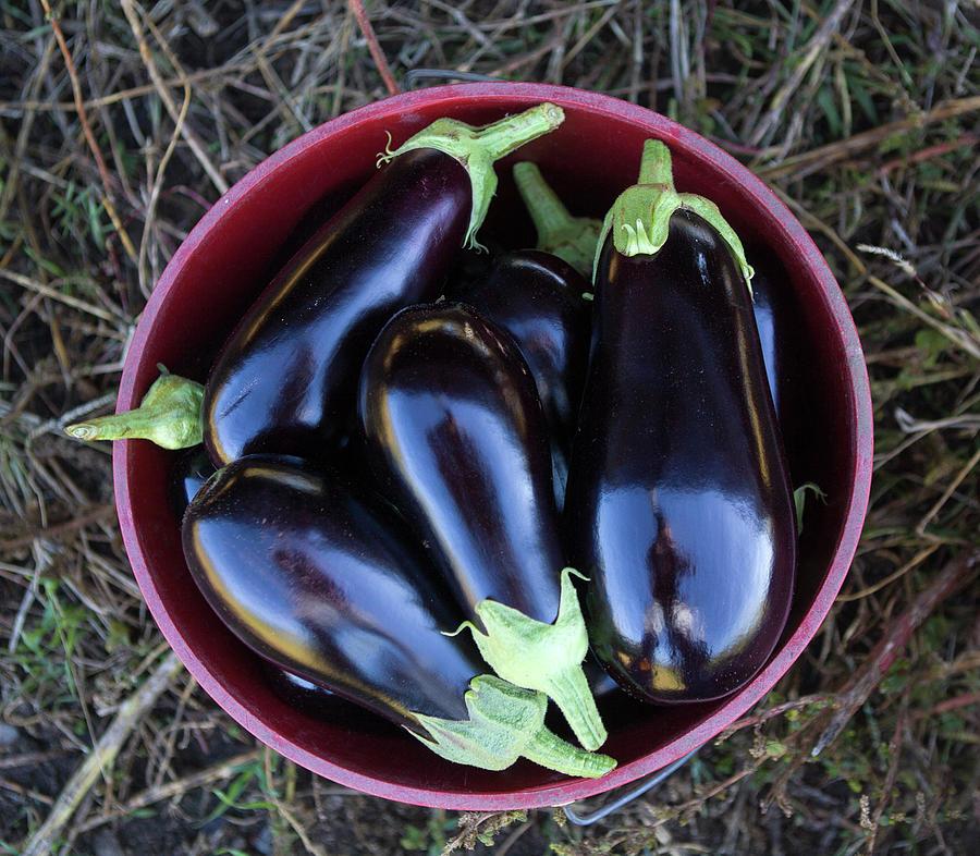 Organic Eggplant Photograph by John Burke