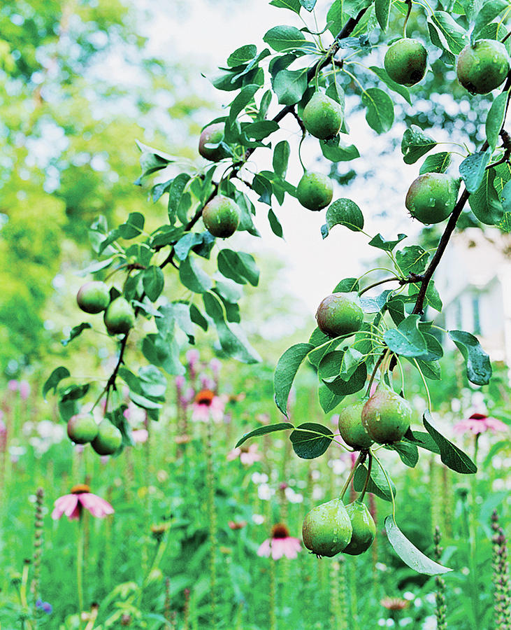 Organic Fruits Hanging On Branch Photograph by Scott Frances