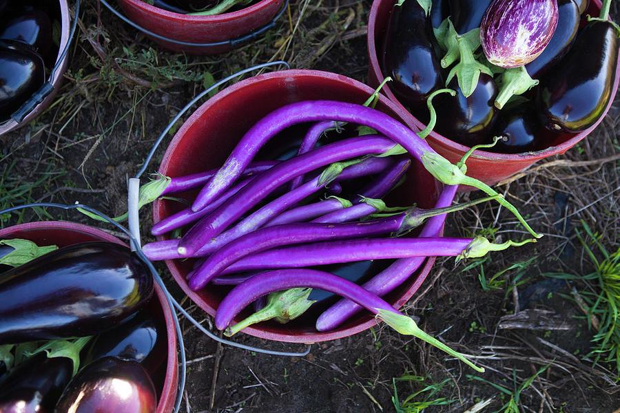 Organic Ping Tung Eggplant Photograph by John Burke