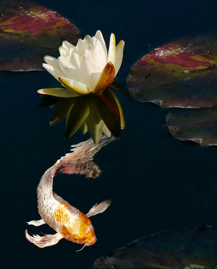 Oriental koi fish and water lily flower photograph by for Koi fish water