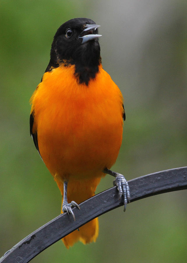 Birds Photograph - Oriole by John Kunze