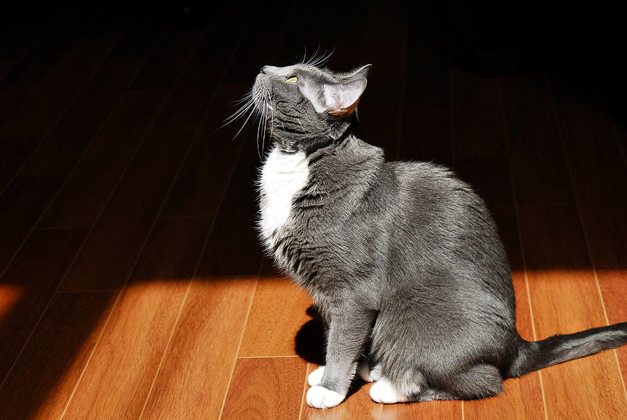Cat Photograph - Orion in Sunlight by Keith Gondron