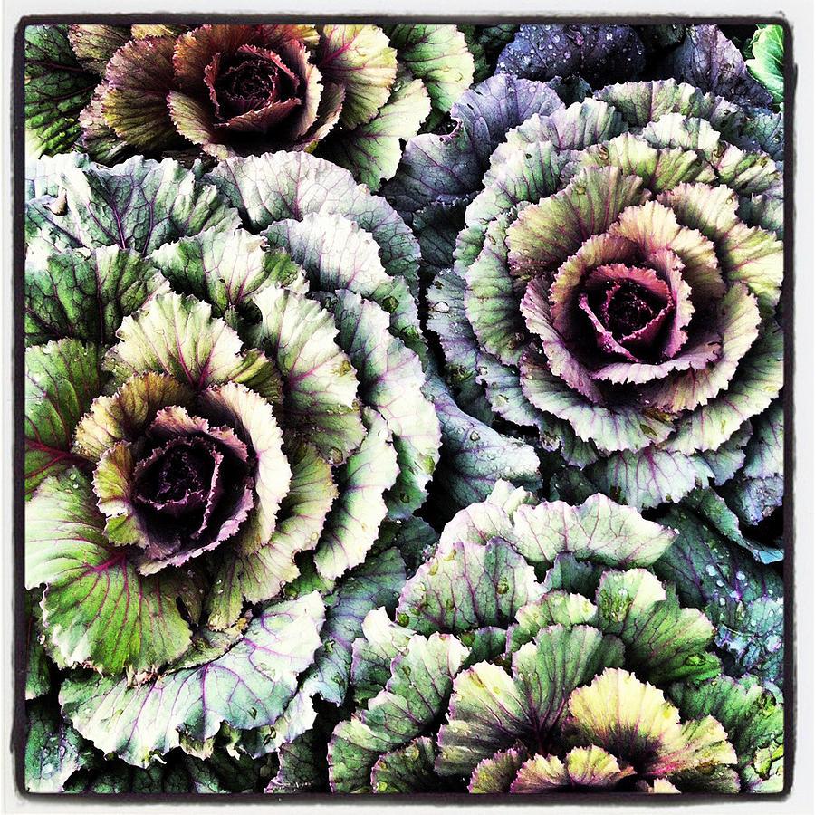 Purple Photograph - Ornamental Cabbage - I Phone by Brooke T Ryan