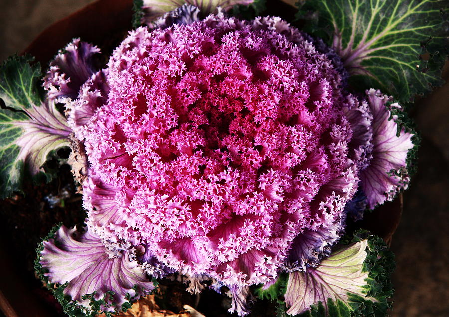 Floral Photograph - Ornamental Cabbage Plant by Aidan Moran