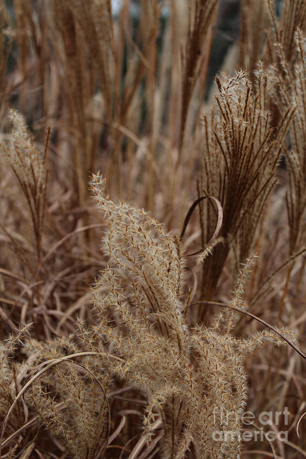 Ornamental Grass Photograph - Ornamental Grass by Arlene Carmel