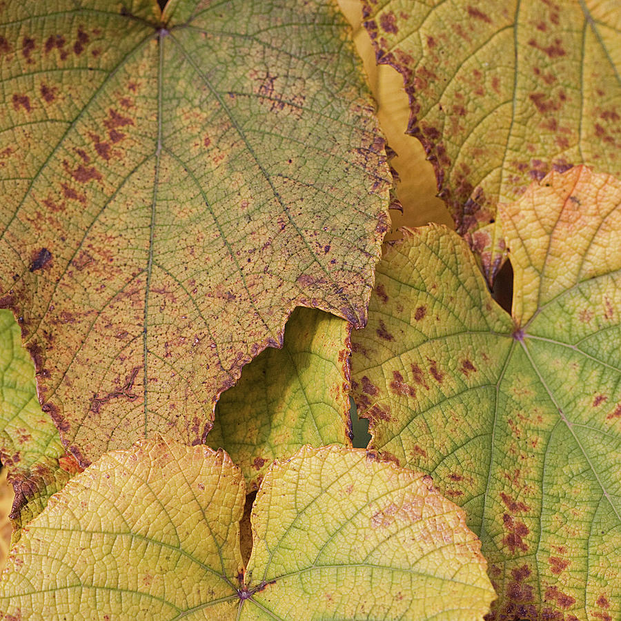 Ornamental Vine Photograph by Kim Haddon Photography