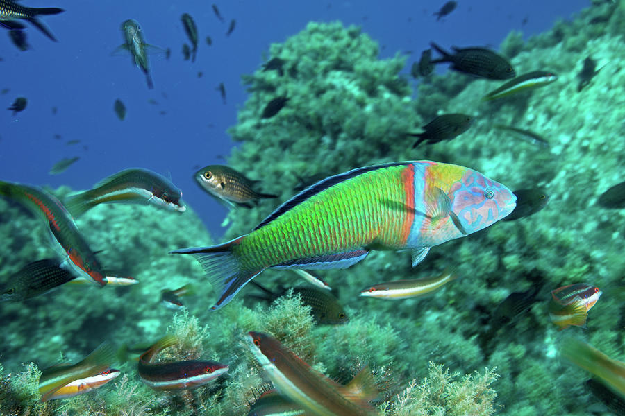 Ornate Wrasse Photograph by Gerard Soury