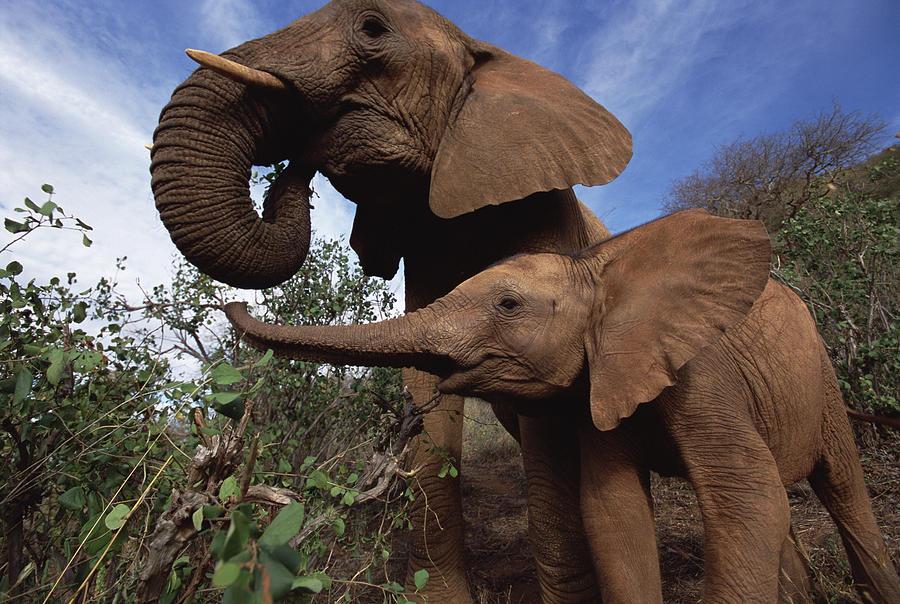 Photograph Photograph - Orphan Natumi Greets Malaika Tsavo Kenya by Gerry Ellis